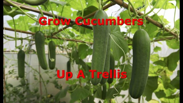 How To Train Cucumbers Up A Trellis
