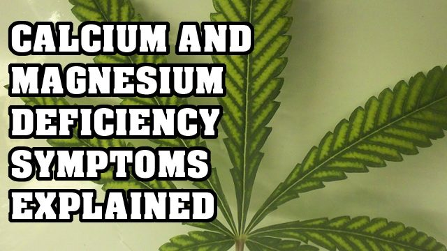 Magnesium and Calcium Deficiency in Cannabis EXPLAINED