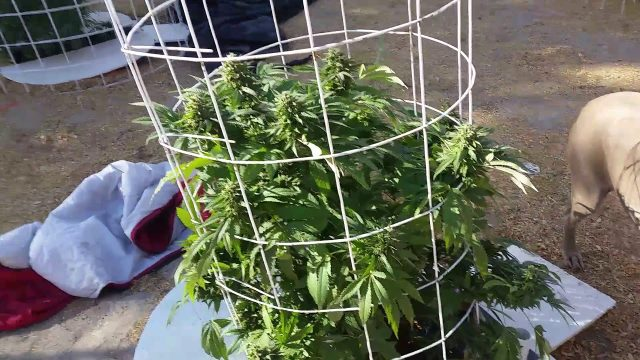 Outdoor hydroponics Marijuana grow #14 top shelf nuggets