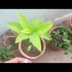यह पौधा आपके  बगीचे को महका देगा FULL DETAIL INFO OF  SON CHAMPA SWARN CHAMPA MAGNOLIA CHAMPACA