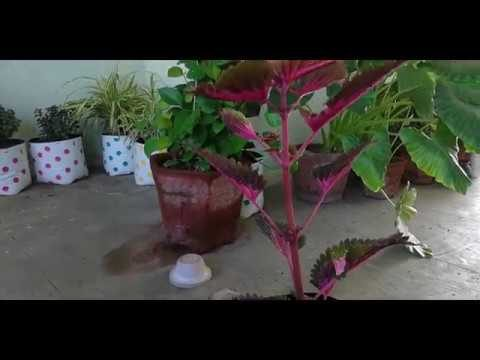 गर्मिओ में कोलेउस को कैसे ग्रो करे HOW TO GROW COLEUS IN SUMMERS AND SOIL FOR COLEUS