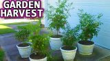 Container Garden JULY 1st HARVEST Update patio vegetable gardening how to start plant seed