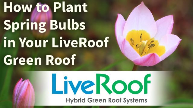 How to Plant Spring Bulbs in a Green Roof