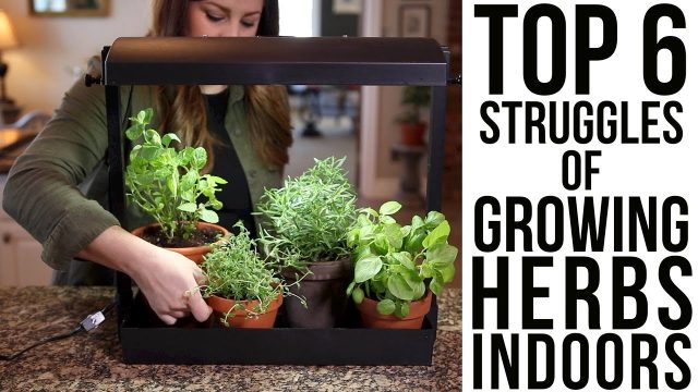 Top 6 Struggles of Growing Herbs Indoors (w/ solutions)!!! // Garden Answer