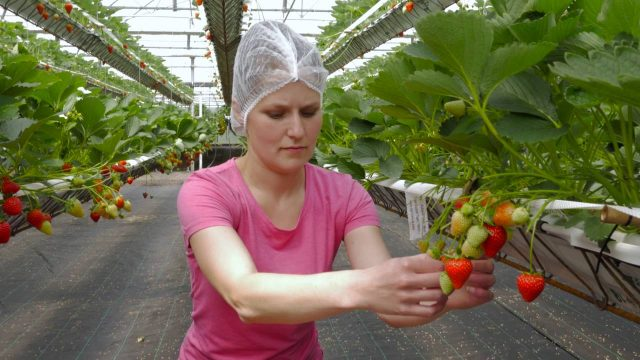 Tiptree New Growing System (NGS) Innovative Strawberry Growing Technology