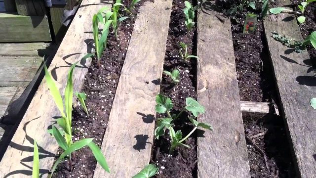 Recycled Pallets raisied bed gardening on the cheap