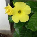 Get  More Flowers on Allamanda plant अलामांडा पे फूल पाने के लिए इतना करे