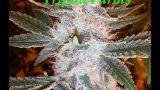 "Tripod Farms ""Colorado Medical Caregivers"" Indoor Cannabis grow"