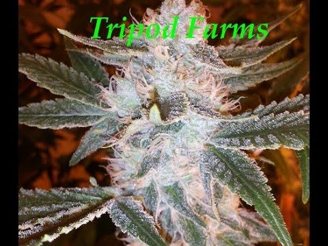 "Tripod Farms ""Colorado Medical Caregivers"" Indoor Cannabis grow"