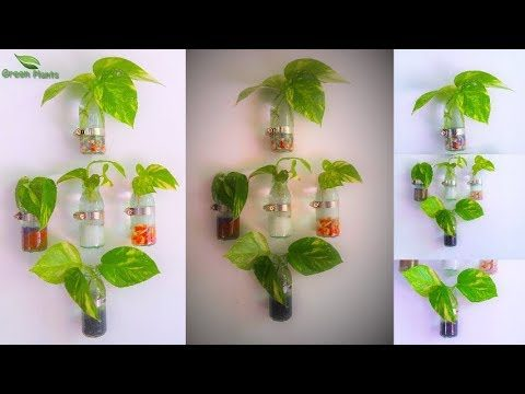 How to Grow Money plant | Clear Glass Wall Mounted Planter | Money plant Growing Ideas//GREEN PLANTS