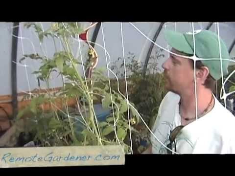 Tomatoes Growing in Rain Gutters and Two Liter Bottle Hydroponic Systems