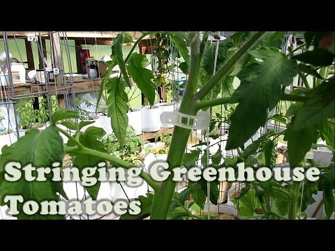 Stringing Greenhouse Tomatoes