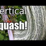 Grow Large Winter Squash Vertically on Trellises! (Butternut, Acorn, Cushaw)
