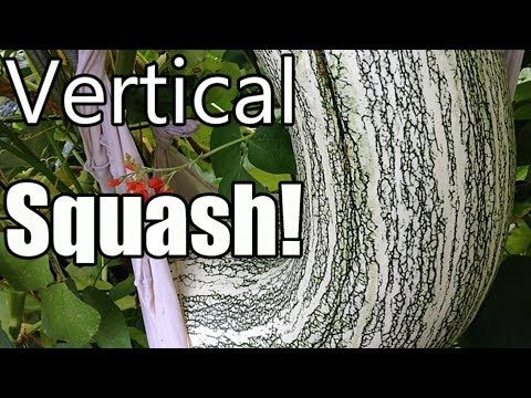Grow Large Winter Squash Vertically on Trellises! (Butternut, Acorn, Cushaw)