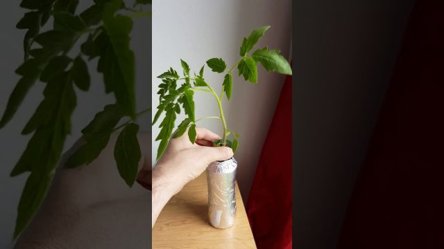 Growing Hydroponic Tomatoes in SUPER SMALL SPACES! update