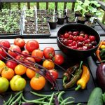 Vegetable Garden Tour & Tips 8/11/2018: Full Tour, Flea Beetles, Hydrogen Peroxide