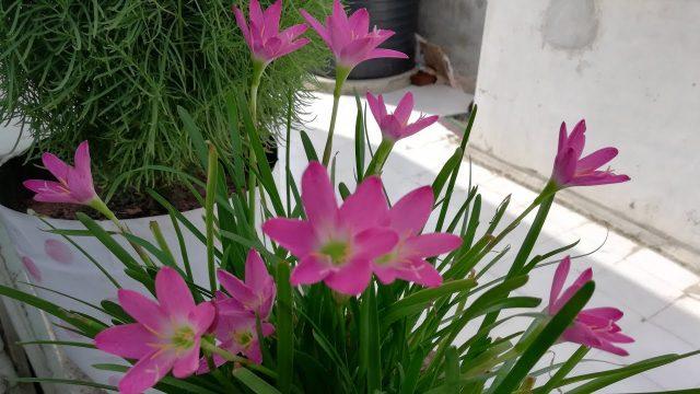 यह ढेरो फूल देगा इन बारिशों मे This plant will give lots of flowers in monsoon