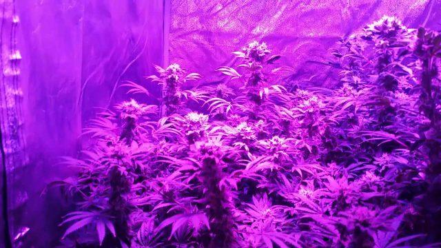 Aquaponic aeroponic cannabis