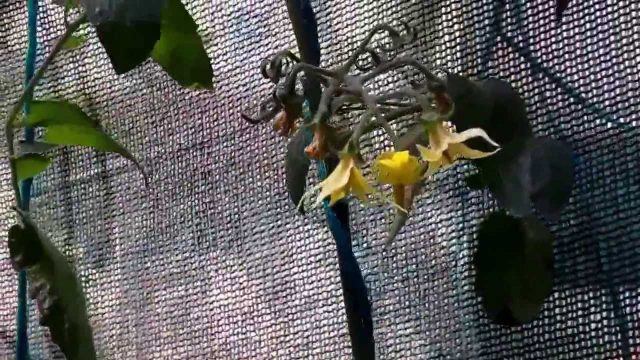 Hydroponic Tomatoes in Hanging Basket – 60 days