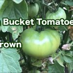 Hydroponic tomatoes vs. soil grown tomatoes and a garden tour — part 1