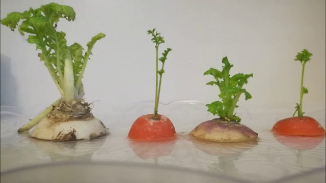 Hydroponics at Home – Growing without soil
