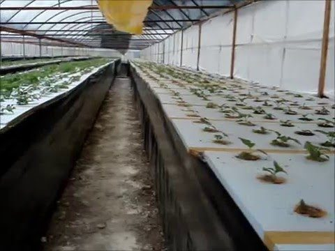 AEROPONIC POTATO TUBER PRODUCTION wmv