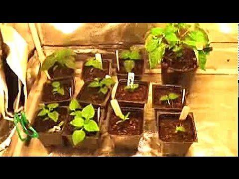 Update on the indoor gardening grow tent – Pepper plants
