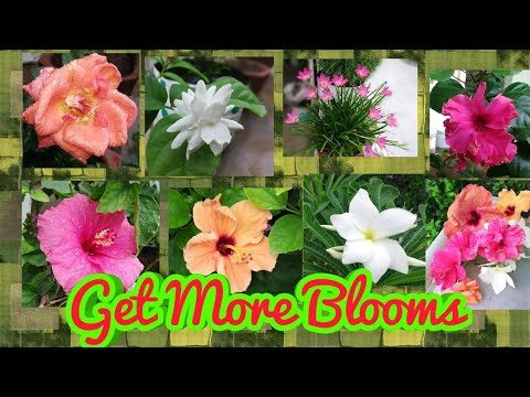 HOW TO GET MORE BLOOMS ON YOUR PLANTS IN THIS RAINY SEASON