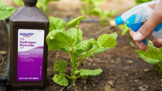 5 Benefits of Hydrogen Peroxide on Plants and Garden