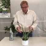 Repotting Aloe Vera into Hydroponics
