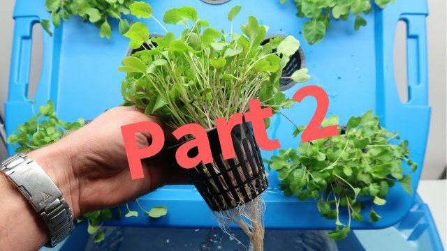 How to Grow Microgreens Hydroponically – Part 2