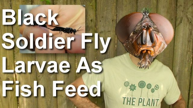 A Look Ahead: Black Soldier Fly Larvae As Aquaponic Fish Feed – Plant Chicago