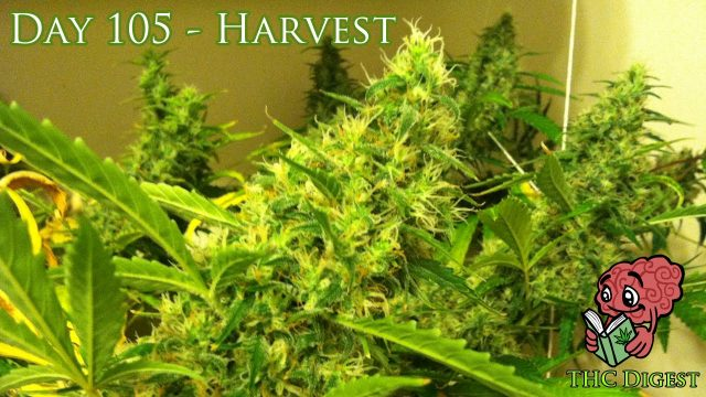 Hydro Weed Grow – Day 105 – Harvest and Yield