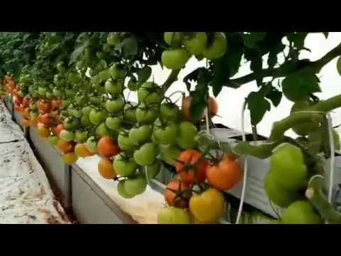 Smart Farming – Grow Hydroponic Tomatoes