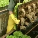 How It's Made – Hydroponic Lettuce