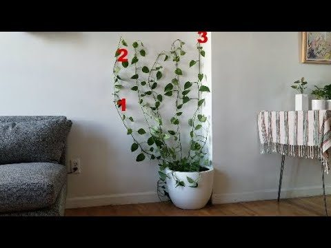 Make a Living Wall from a Pothos Plant