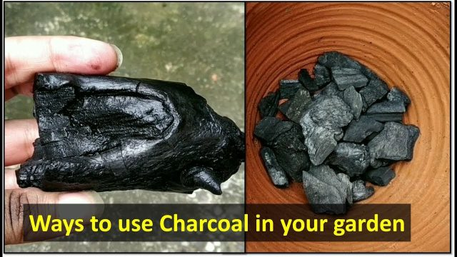 How to use charcoal in gardening | Benefits of charcoal on plants & soil