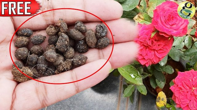 FREE ORGANIC FERTILIZER | GOAT DUNG / SHEEP DUNG | Flowering & Vegetable Gardening