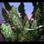 400 Watts Soil vs Aero 10 Week of flowering