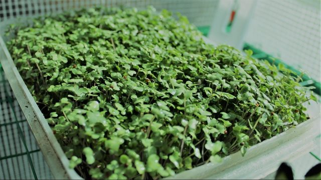 Growing Broccoli Micro-greens Hydroponically