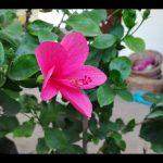 हिबिस्कुस  पे फूल पाए आर्गेनिक तरीके से THIS  ORGANIC  FERTILIZER WILL  HELP TO BLOOM YOUR HIBISCUS