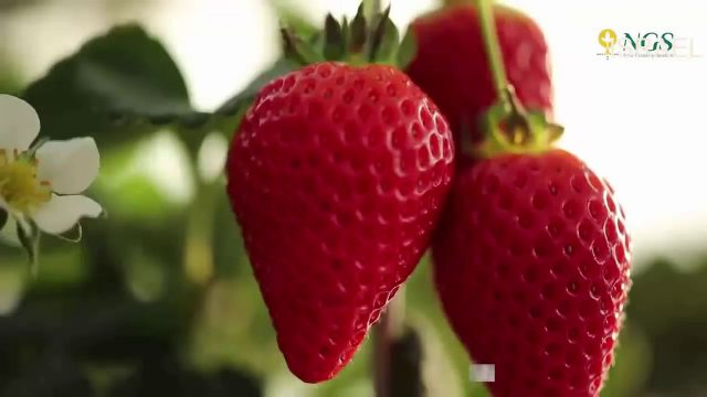 Strawberry in New Growing System  – Growing Hydroponic Strawberries