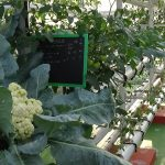 Soil Less Vertical Aeroponic Growing System Video in English By Sure grow