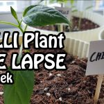 Time Lapse of Chilli Plant Indoor Gardening. Growing in its 7th week | Chilli
