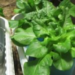 Easy to Grow Hydroponic Lettuce Using the Kratky Method