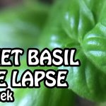 Time Lapse of Sweet Basil. 7th Week Plant Growing. Indoor Gardening | Basil