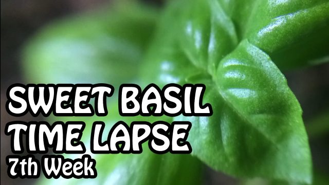 Time Lapse of Sweet Basil. 7th Week Plant Growing. Indoor Gardening | Basil