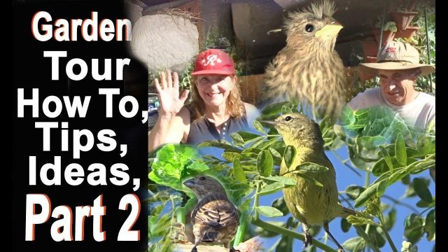 Garden Tour Tips and Ideas Papaya Swiss Chard Tomatoes Moringa Vegetable Gardening Jays & Squirrels