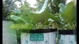 Carrot growing home vegetable garden using simple tips – ക്യാരറ്റ് കൃഷി