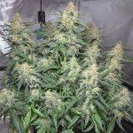 MEDICAL MARIJUANA INDOOR GARDEN! – GROWING CANNABIS IN GROW TENTS